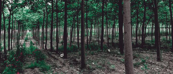 Ecologistas luchan contra las plantaciones industriales de árboles