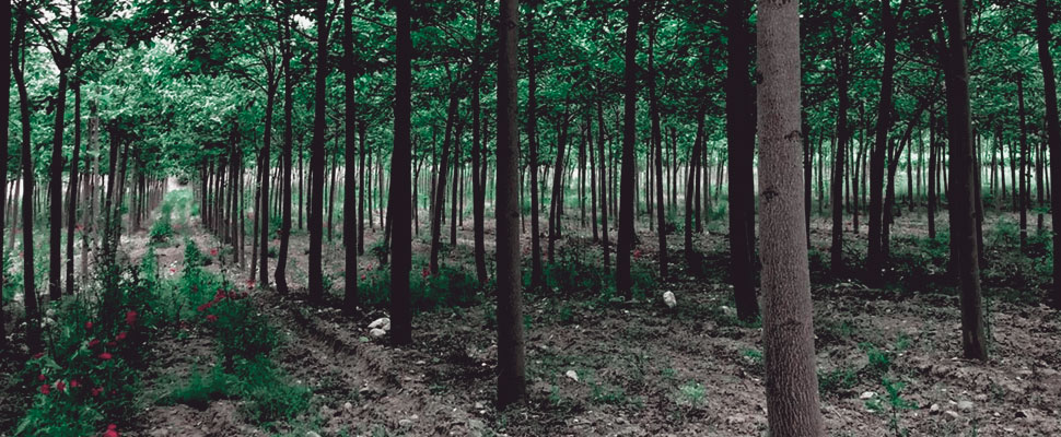 Ecologists fight against industrial tree plantations