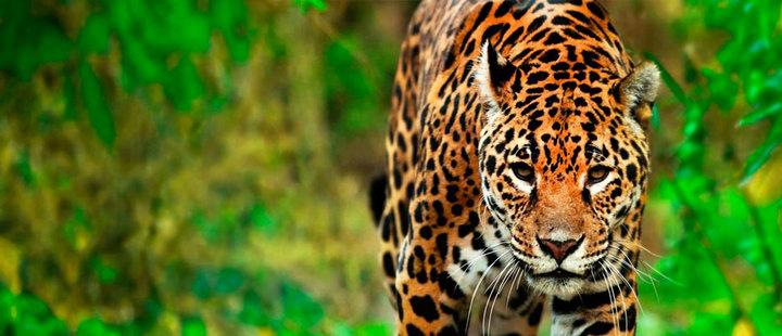 ¡Latinoamérica al rescate de los jaguares!