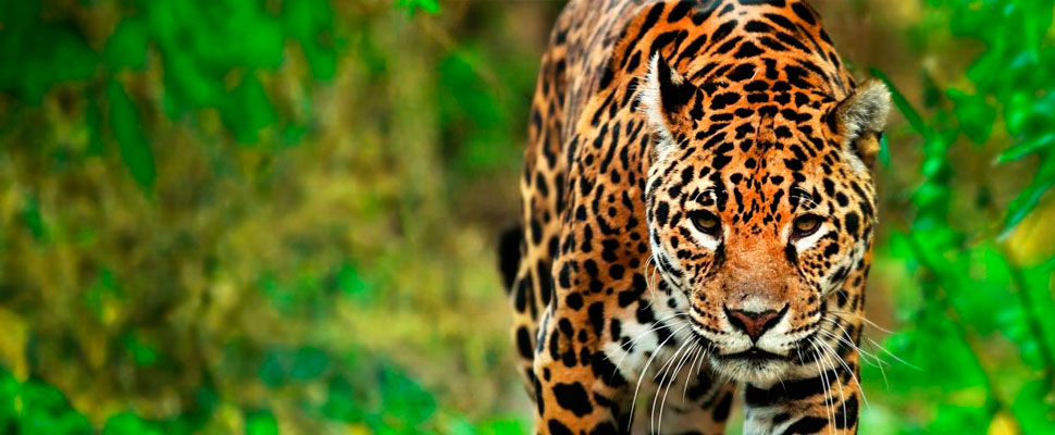 Latin America to the rescue of the jaguars!