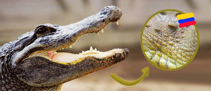 Polémica ambiental: en Colombia se puede vender la piel del caimán aguja