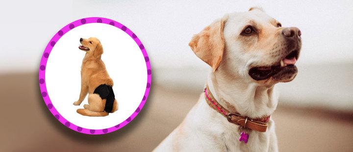 ¿Sabes cómo cuidar a tu perra en celo?