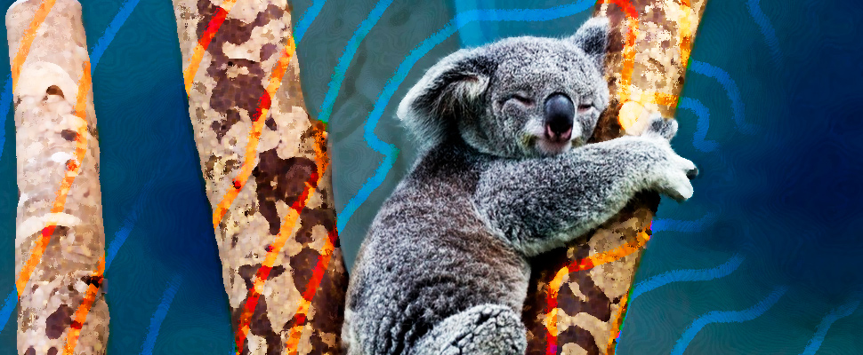 What does it mean that Koalas are functionally extinct?