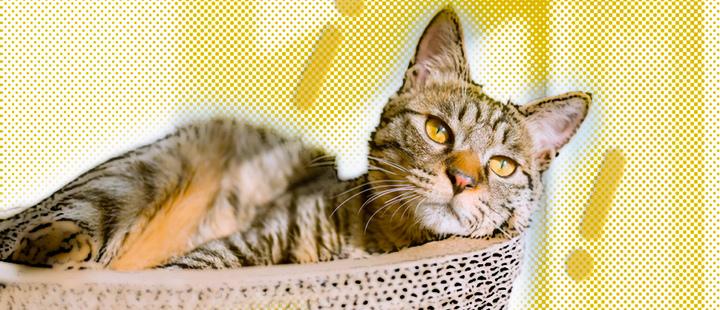 Gato recostado sobre una superficie, mirando a la cámara y signos de admiración a sus costados