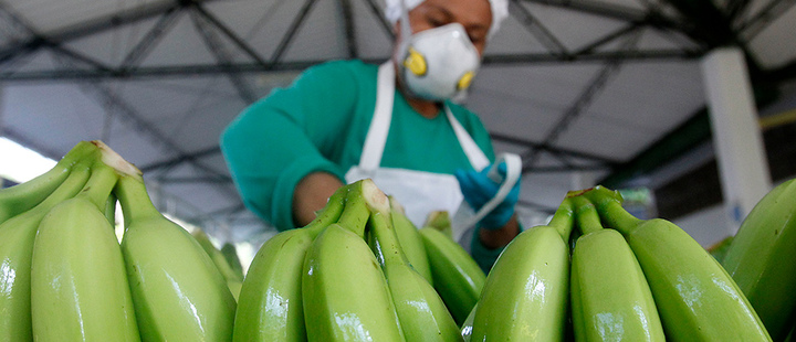 Colombian worker in a banana export company.