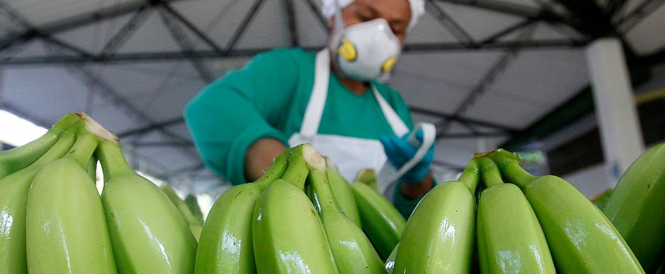 Colombian company will export banana to China and hopes to