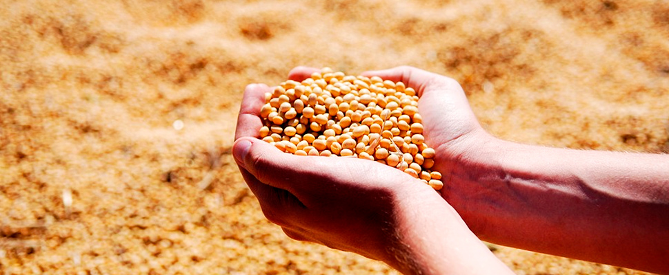 Person holding soybeans after harvest