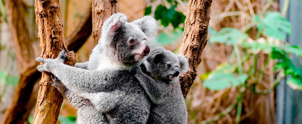 Two koalas climbed on a tree