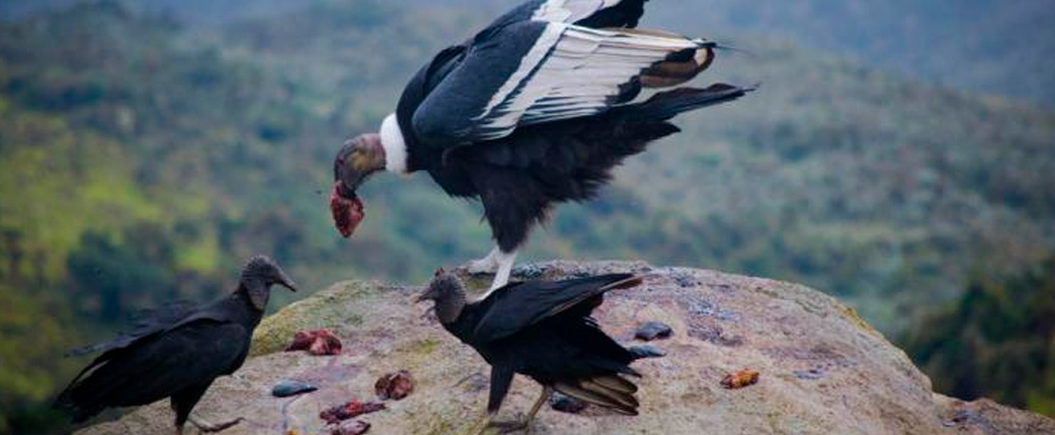 Black vultures and Andean condors are carnivorous birds that specialize on consuming carrion.