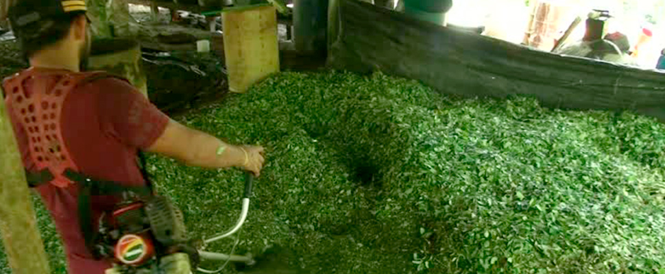 Worker cutting coca leaves