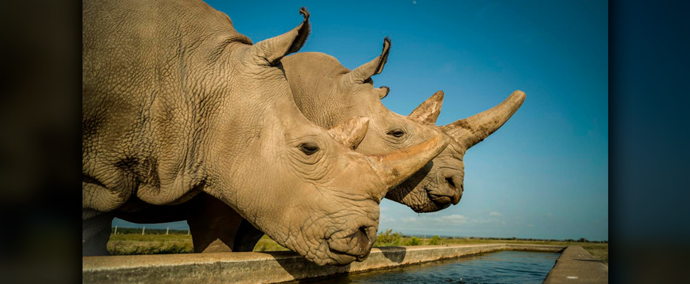 The last two northern white rhinos on the planet.