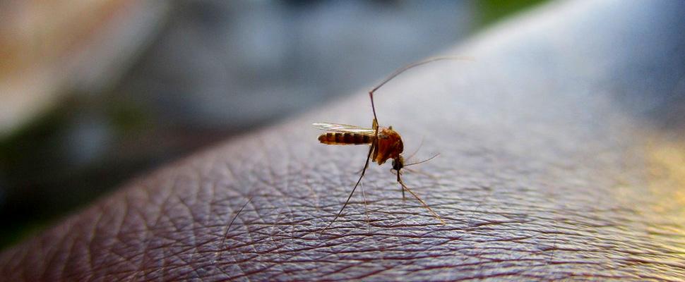 Dengue virus transmitting mosquito.