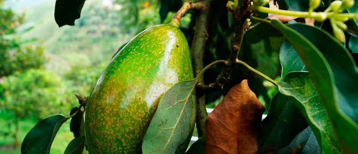 World Avocado Congress: The opportunity for the Colombian market