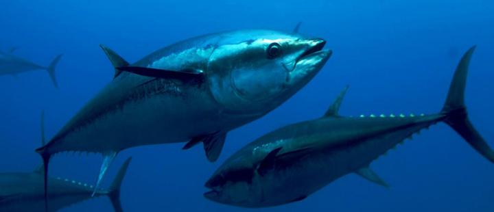 ¿Qué tan sostenible es la pesca de atún?