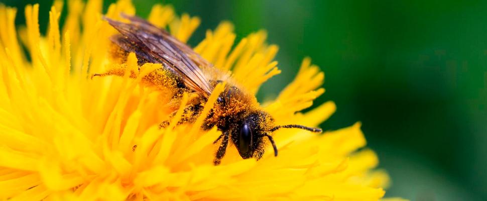 Esta es una abeja cubierta de polen.