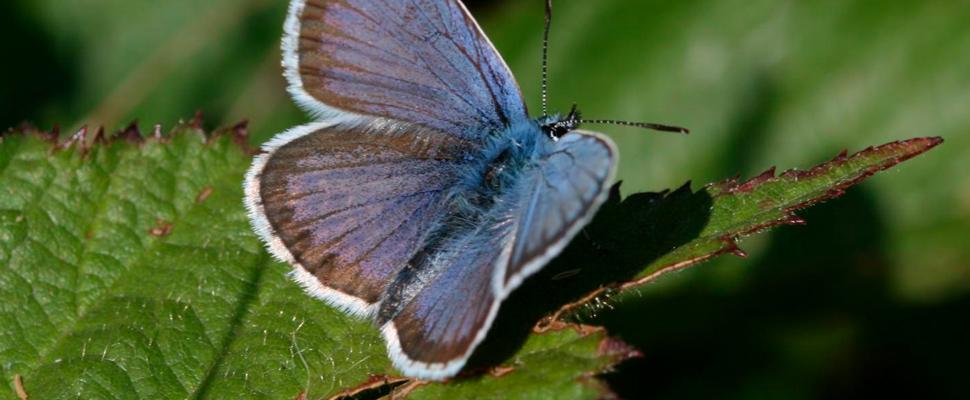 Mariposa azul tachonada de plata