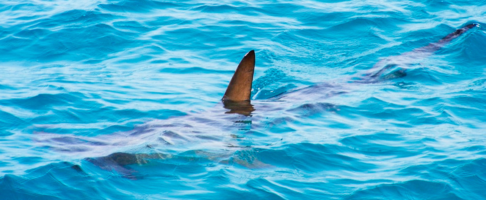 Shark swimming in the ocean while watching its fin protruding from the water.