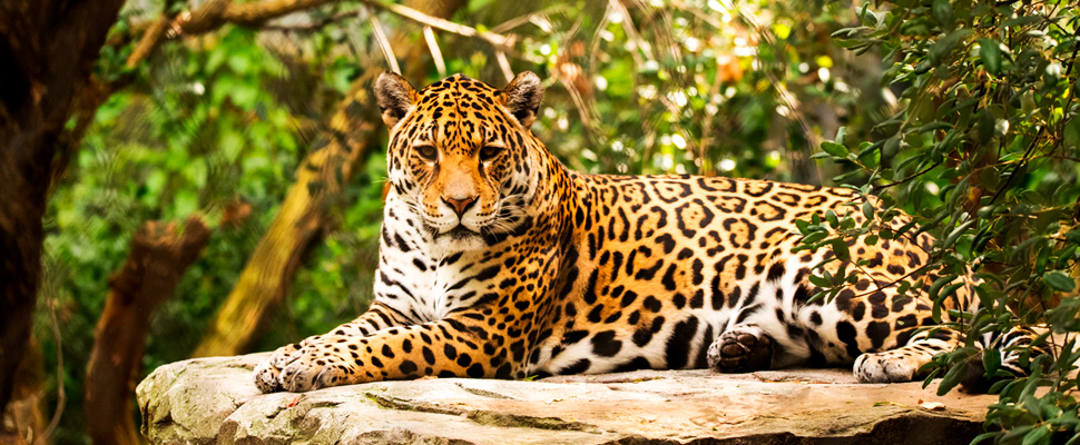 Jaguar lying on a rock.