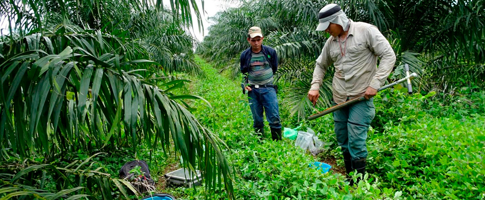 Juan Carlos Quezada working in an oil palm plantation in Colombia.