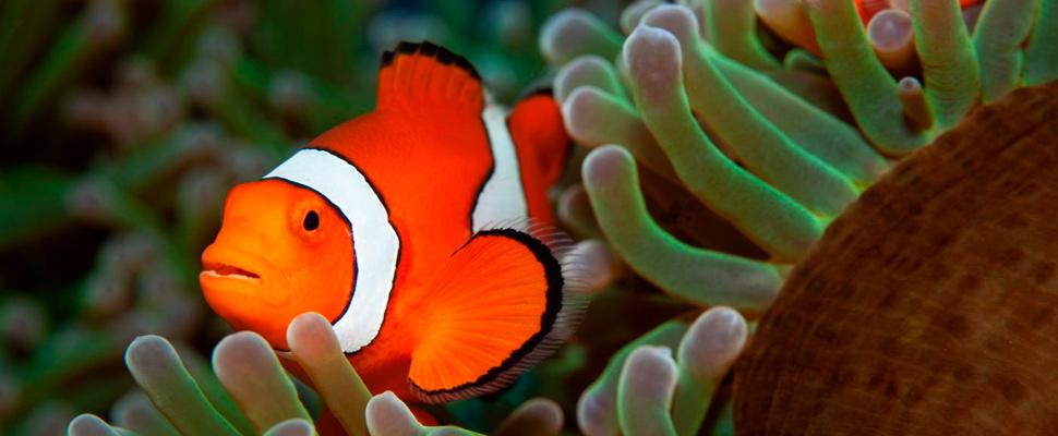 Clownfish / Anemones