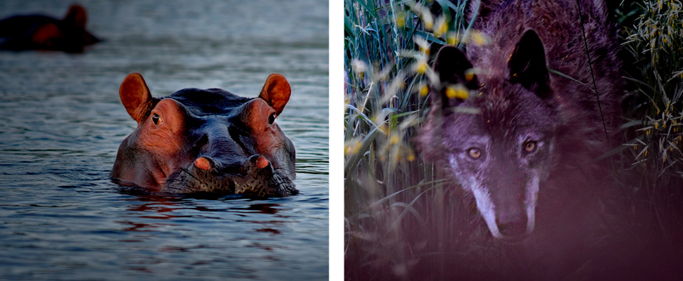 Hippo in the water and wolf hiding behind the grass.