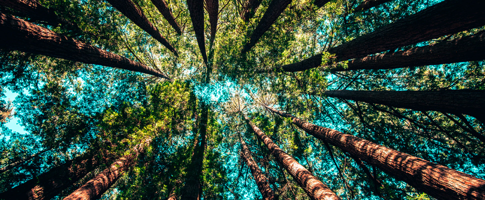 Trees in a forest.