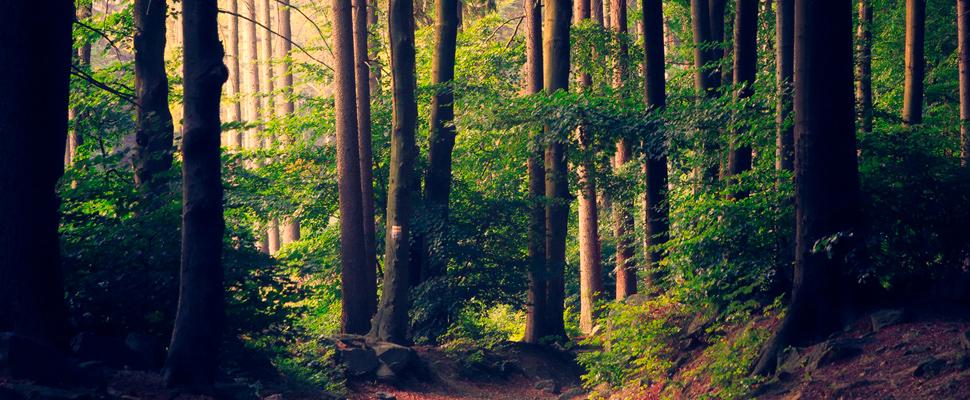 Manejo forestal sustentable: cortar árboles y preservar el bosque