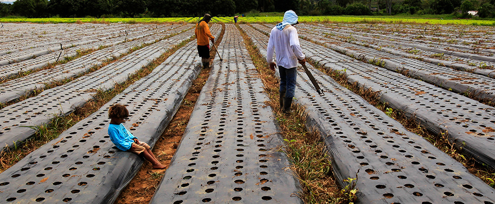 Men work in a lettuce plantation.