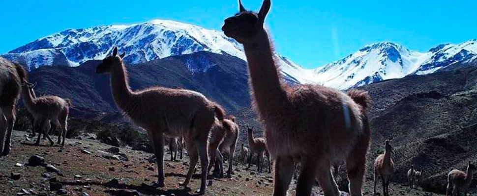 Camera trap image of Guanacos