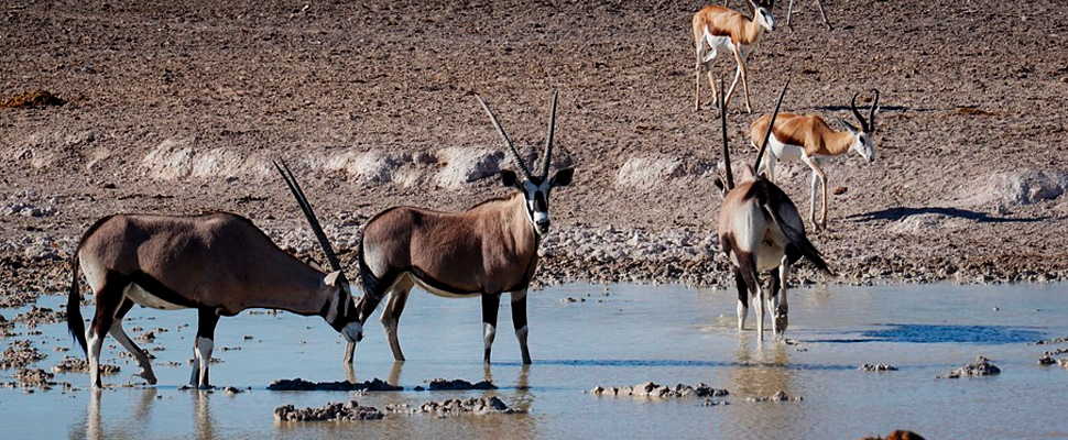 Herd of antelopes drinking water.