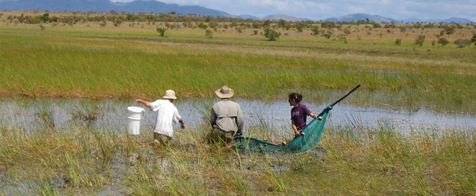 Lesley de Souza with her team seining for fishes in the Rupununi savannas during the dry season.
