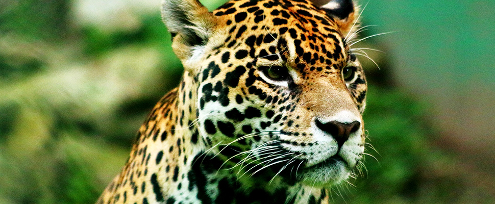 Jupiter the lion isn't the only Colombian animal in danger