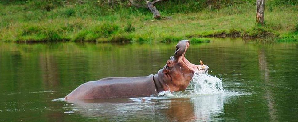 Pablo Escobar's hippos may help counteract a legacy of extinctions