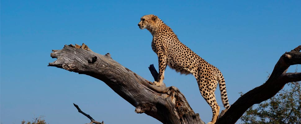 Cheetah on top of tree branch