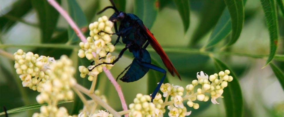 Tarantula hunting wasp