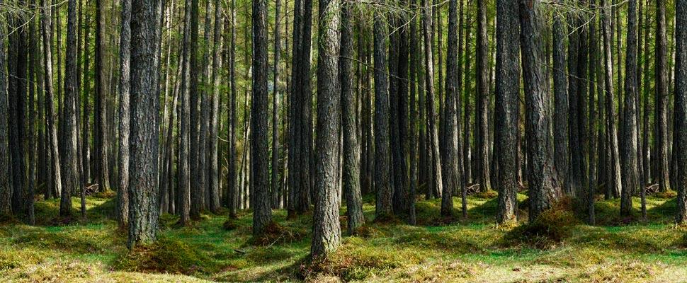 Bosque de árboles Alerce