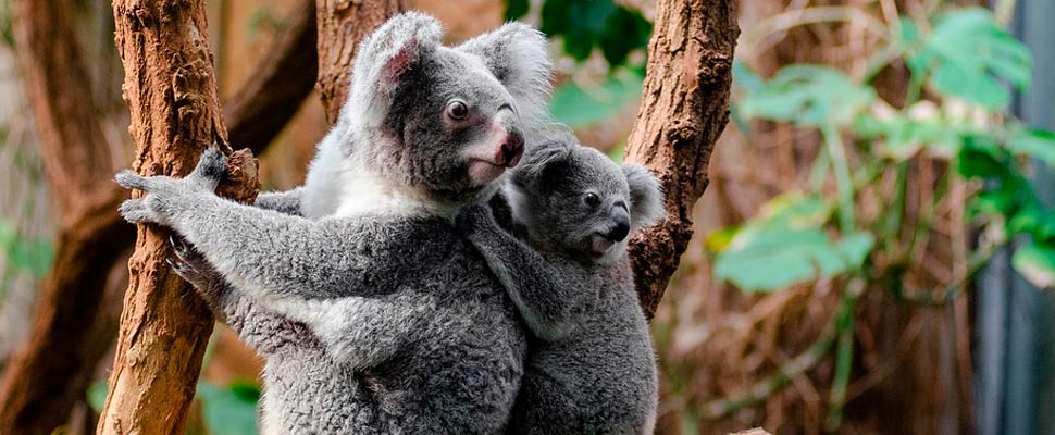 Koalas in a tree
