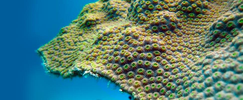Primer plano de coral