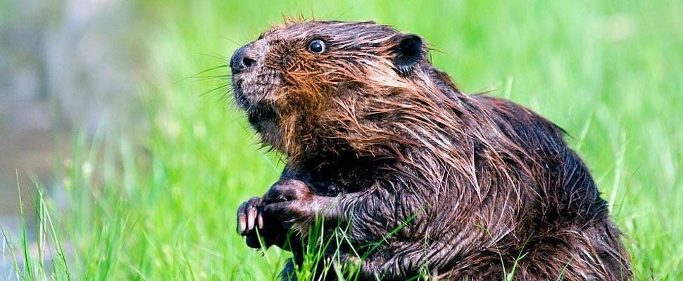 ¿Cazar animales exóticos para proteger a los nativos?