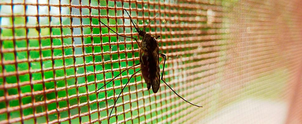 Mosquito on a mesh