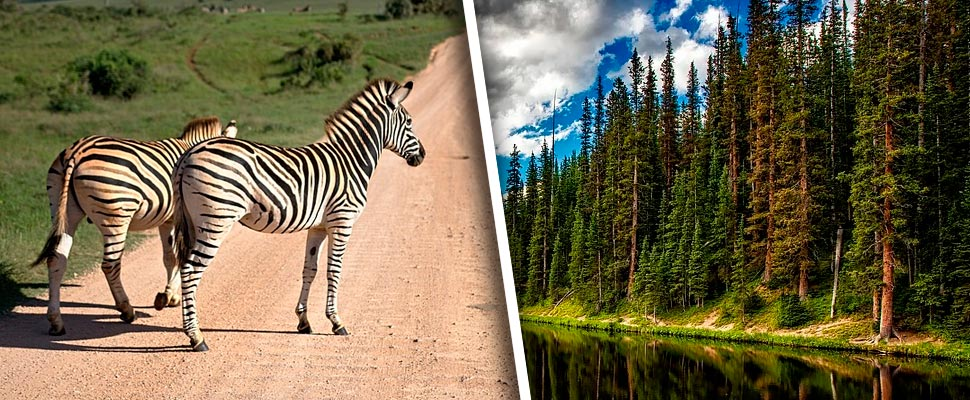 Zebras on a road and trees near a lake