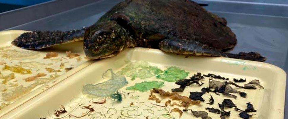 El contenido del estómago de una tortuga verde