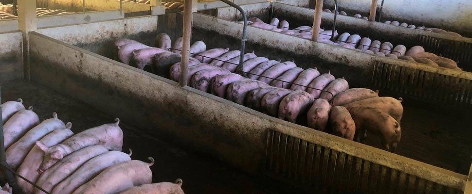 Cerdos en un criadero