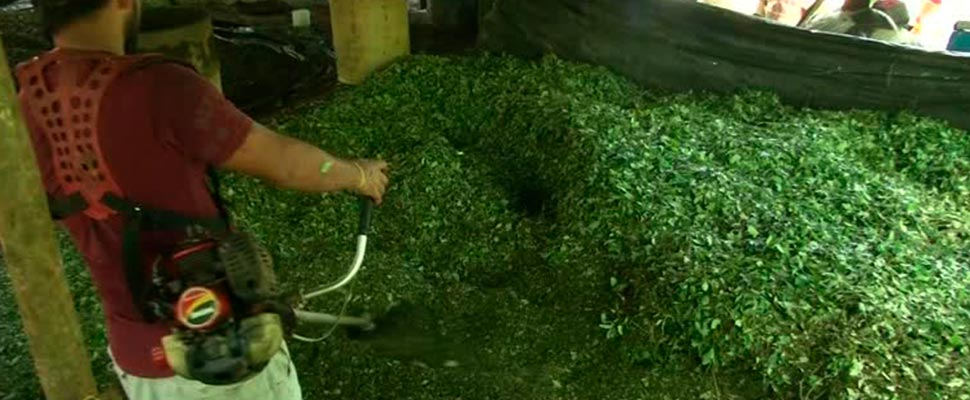 Person working with coca leaves