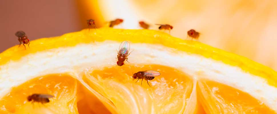Could Fruit Fly Research Results Increase Survival for Cancer Patients?