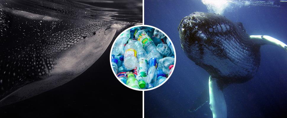 Ballenas y tiburones: víctimas del microplástico