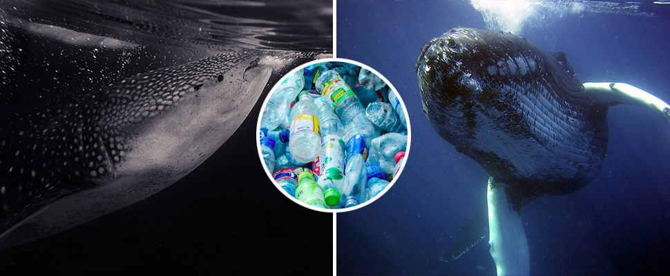 Whales and sharks: victims of microplastic
