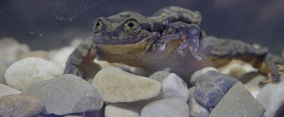 La rana Romeo busca pareja para preservar su especie