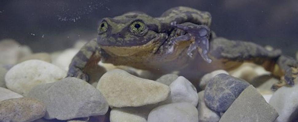 Bolivian water frog is looking for its Juliet