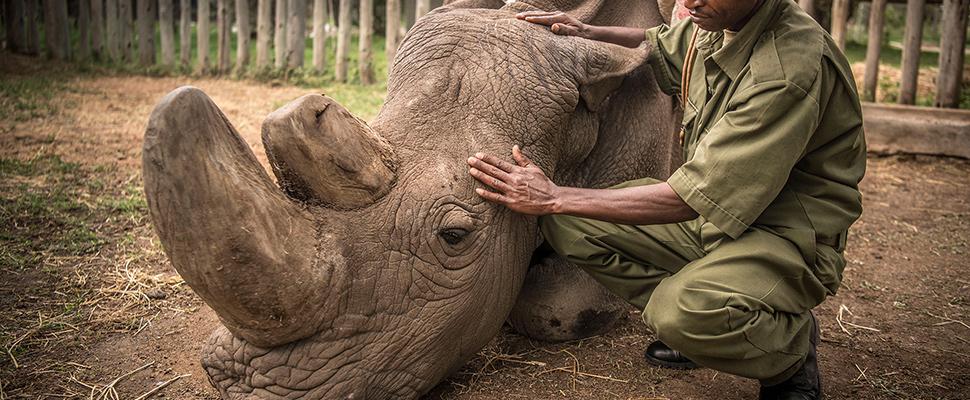 Se extinguió el rinoceronte blanco, ¿y qué?